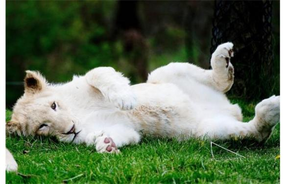 White baby lion pictures