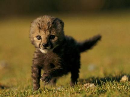 Resultado de imagen para fotos de cachorros de guepardos