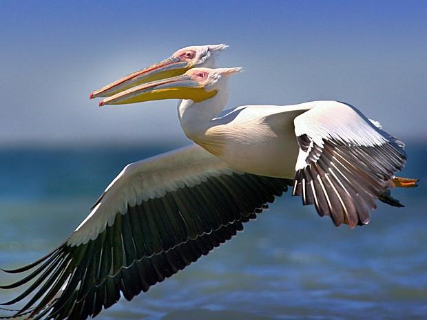 Fotos de animais selvagens que chamaram a aten o em 2012 - Fotos de pelicanos ...