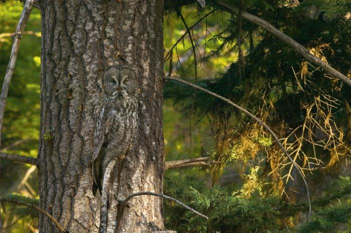 Un Gran Búho Gris colocado ante un árbol de colores similares que le permite camuflarse. En Oregón (Estados Unidos)  Foto cortesía de Art Wolfe
