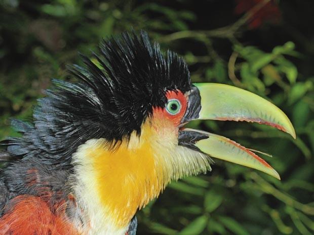 Foto de um tucano-de-bico-verde (Foto: Lester Scalon/Divulgação)