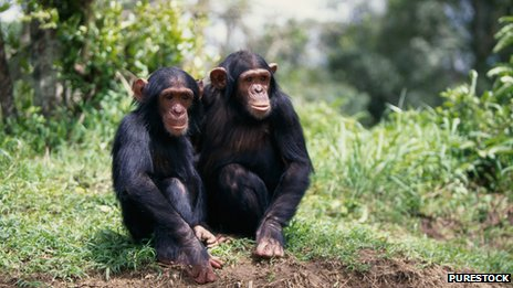 Chimps and other primates are highly susceptible to human pathogens