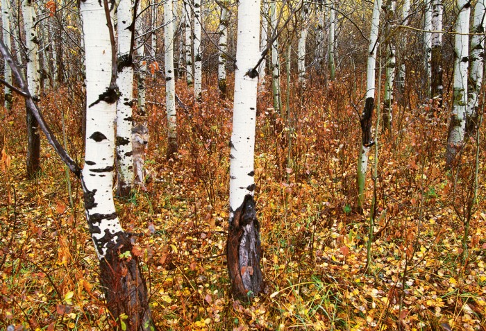 Un lobo asomando de un árbol (el tercero de los grandes por la izquierda) en un bosque de Montana (Estados Unidos). Foto cortesía de Art Wolfe