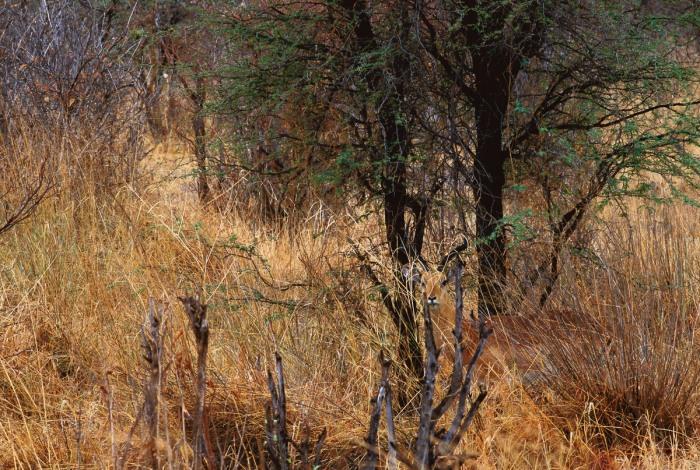 Impala, un tipo de antílope africano, escondido entre la vegetación (lo puedes encontrar donde acaban los troncos de los dos árboles principales) en Botswana. Foto cortesía de Art Wolfe