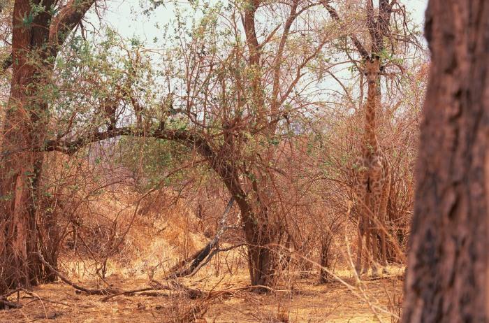 Una jirafa, verticalmente camuflada entre los colores de Transvaal (Sudáfrica) y justo donde hay un árbol. Foto cortesía de Art Wolfe