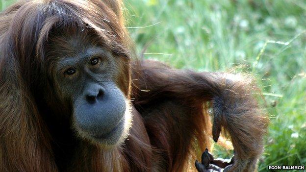 _64610760_bornean_orangutan_1