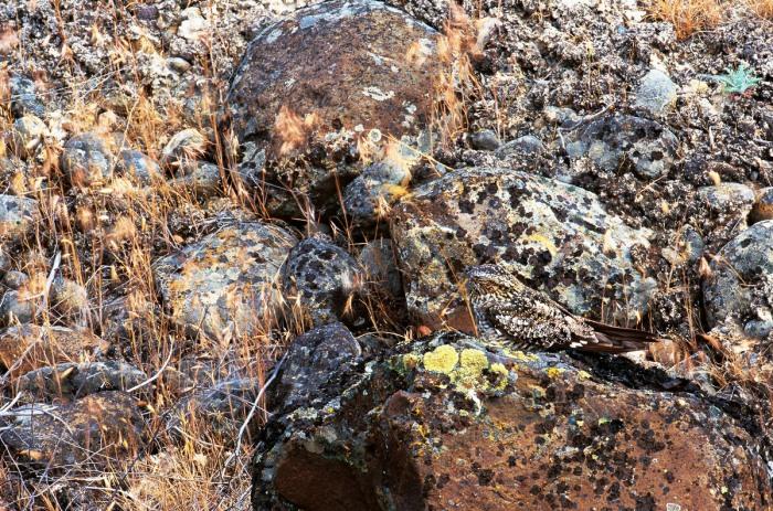 Un ave insectívora, llamada chotacabras se apoya en una roca. Fotos cortesía de Art Wolfe