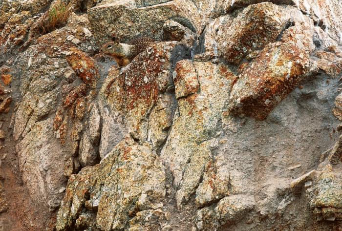 Ardilla de California, camuflada en su entorno. Foto cortesía de Art Wolfe