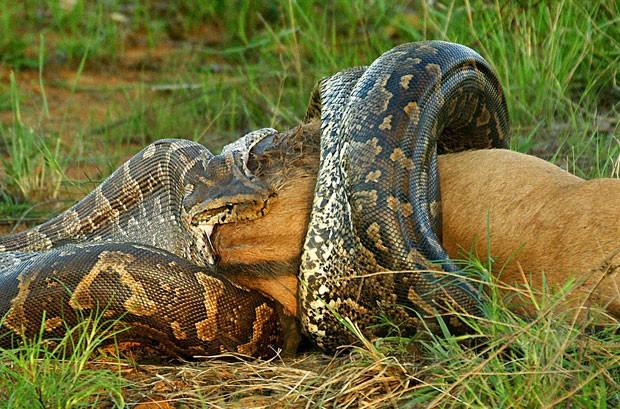 Detalhe do flagrante feito no Parque Kruger (Foto: Caters)