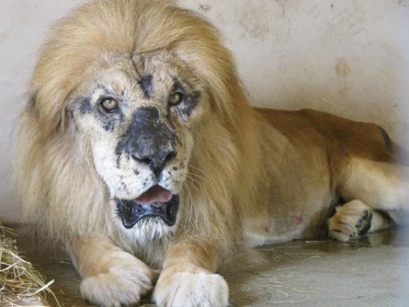 O leão africano tem manchas no rosto, devido à exposição excessiva da pelo ao sol. Segundo a ONG Mata Ciliar, o felino foi vítima de maus-tratos (Foto: Eduardo Carvalho/G1)