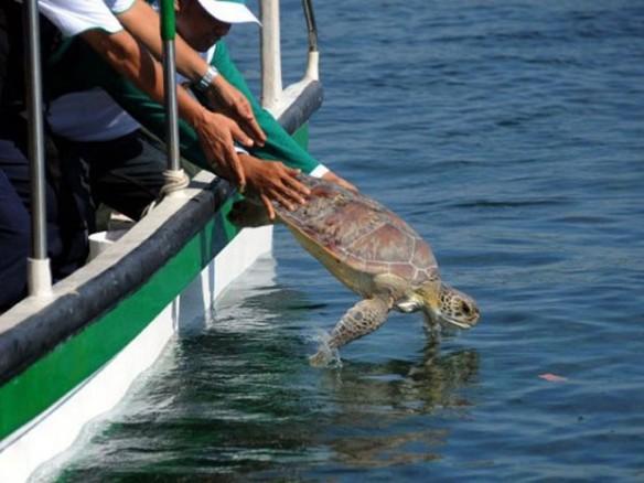 33 exemplares de tartaruga-verde foram libertados nesta quinta-feira na região de Bali (Foto: Sonny Tumbelaka/AFP)