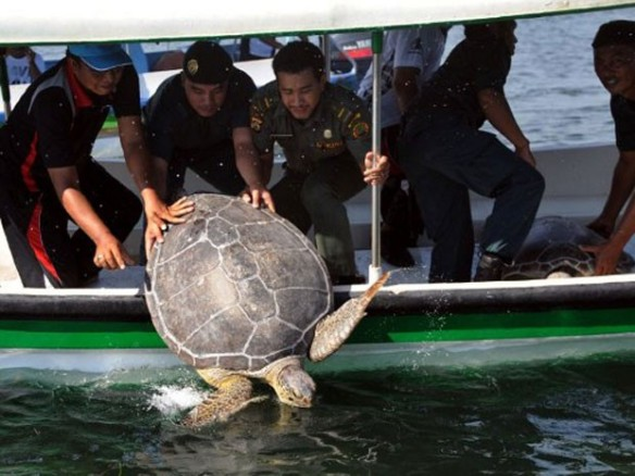 Esa espécie foi classificada como ameaçada de extinção pela União Internacional para a Conservação da Natureza (IUCN) (Foto: Sonny Tumbelaka/AFP)