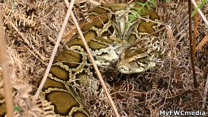 No será fácil identificar a las pitones birmanas camufladas en la naturaleza del sur de Florida.