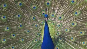 Las plumas de los pavos reales machos son un claro ejemplo de selección sexual.