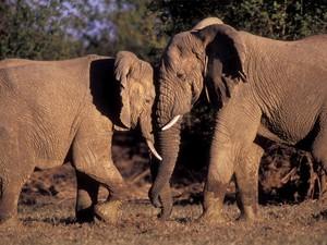 Elefantes do Mali; três deles foram mortos neste ano por caçadores (Foto: Divugação/Wild Foundation)