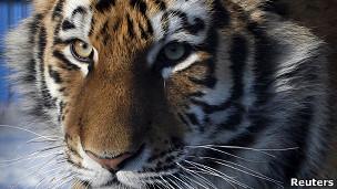 En la actualidad se estima que en la zona hay unos 500 tigres.