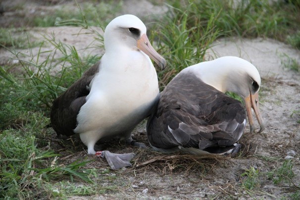 Pete Leary/U.S. Fish and Wildlife Service - Wisdom (left) attempts to nudge her mate off the nest for her turn at incubating the couple's egg. She's 62; the male is presumed to be much younger.