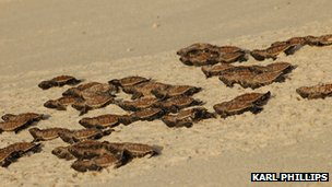 Hatchling turtles return to the sea