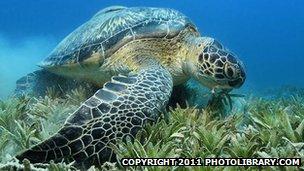 _65620866_green_sea_turtle_1