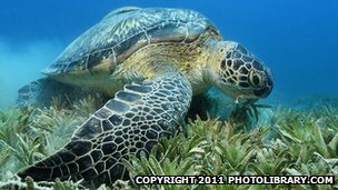 _65620866_green_sea_turtle_1