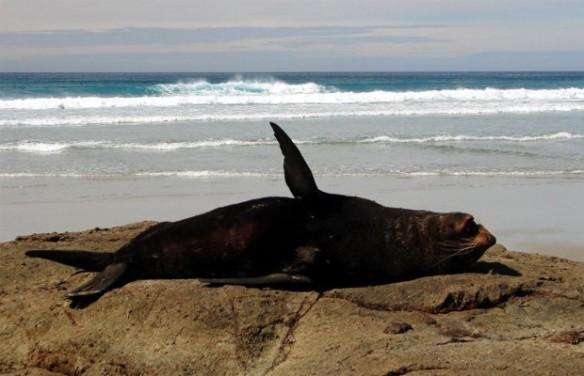 Foca descansa em praia no litoral da Nova Zelândia (Foto: Divulgação/Union College)