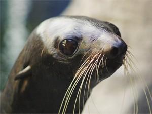 Foca em aquário nos Estados Unidos(Foto: Divulgação/Boston University)