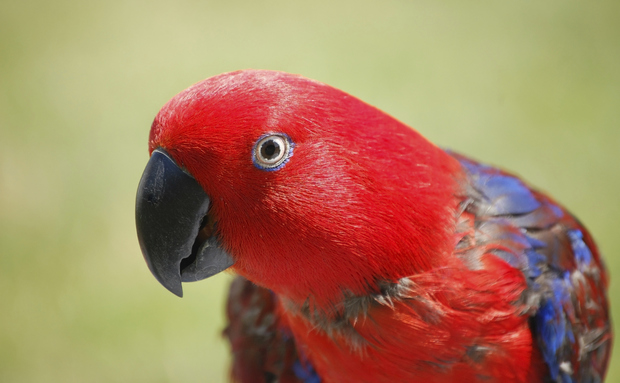 Algumas aves, porém, fogem à regra. No caso do Eclectus roratus, as penas do macho são como as de muitos papagaios: predominantemente verdes. A fêmea é tão diferente que por algum tempo pensou-se ser de outra espécie. As suas penas vermelhas são combinadas de maneira excepcional a tons roxos e amarelados