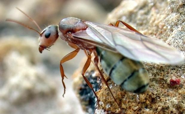 A sociedade das formigas é formada por fundamentalmente por fêmeas – as operárias (estéreis) e uma rainha (fértil). Os machos têm função reprodutiva, ocorrendo em menor número. A formiga-rainha é maior e alada, diferente das operárias. Ela perde o seu par de asas apenas após o voo nupcial