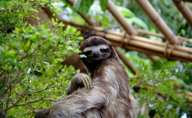 As preguiças-de-três-dedos fêmeas têm as costas acinzentadas, diferente dos machos que costumam ser identificados pela mancha alaranjada. A espécie consegue percorrer uma distância de 4,5 metros por minuto