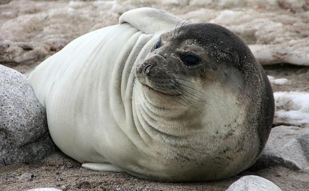Esta simpática fêmea pouco se parece com os machos de sua espécie: os elefantes-marinhos. Significativamente menores, as fêmeas chegam a pesar um terço de seu parceiro e têm traços mais delicados, sem a protuberante tromba.