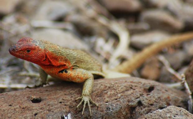 As fêmeas desta espécie de lagartos, endêmica da ilha de Galápagos, tem uma coloração avermelhada que as distingue dos machos. Onívoros, eles possuem a habilidade de regenerar o rabo (semelhante às lagartixas), do qual se desprendem para fugir de predadores