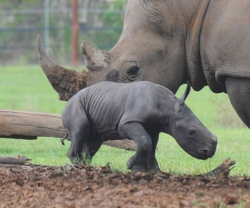 Patient Of The Week At Australia Zoo: It's A Girl! Second Southern White Rhino Baby For