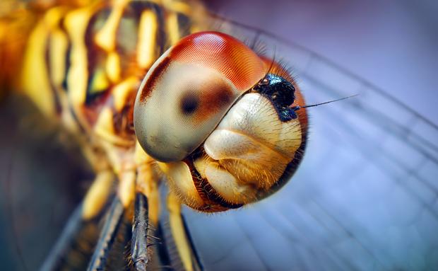 """De """"azul"""" a libélula fêmea da espécie conhecida como Dasher Azul não tem nada – apenas os machos. As fêmeas podem ser identificadas pelo tórax rajado em preto com tons amarelados, as mesmas cores de sua distinta cauda"""
