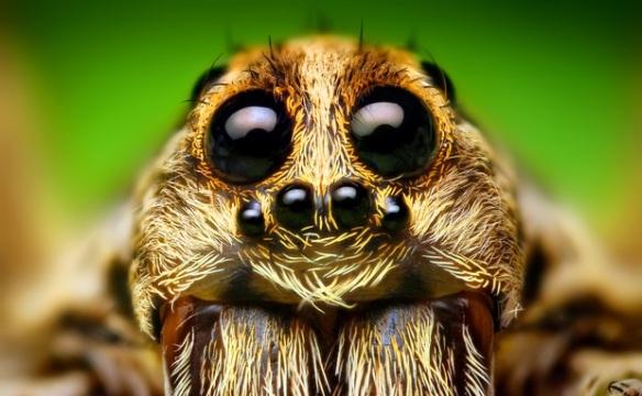 Os olhos das aranhas-lobo (na foto, uma Hogna sp.) são dispostos de maneira incomum, em três fileiras. A combinação garante uma visão excelente à espécie, que caça à noite.