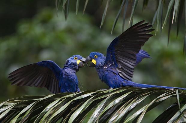 Casal de araras-azuis em palmeira na Floresta Nacional de Carajás, Pará