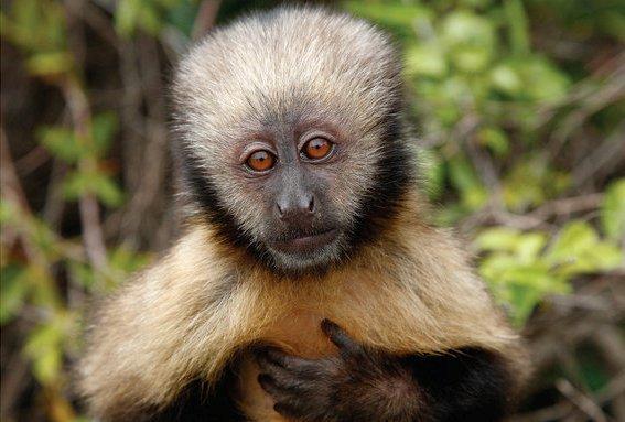 Macaco-prego-do-peito-amarelo (Cebus apella xanthosternos): vive na Mata Atlântica