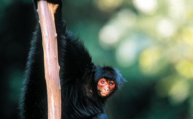 Macaco-aranha-preto ou Quatá (Ateles paniscus): vive na Amazônia