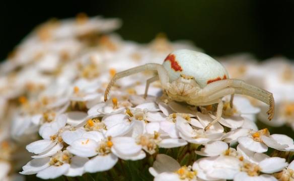 A aranha-caranguejo-das-flores (Misumena vatia) faz jus ao nome: exibe alongadas patas dianteiras, camuflada sobre uma aquiléia-mil-folhas (Achillea millefolium).