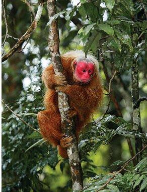 Uacari-vermelho (Cacajao calvus rubicundus): vive na Amazônia