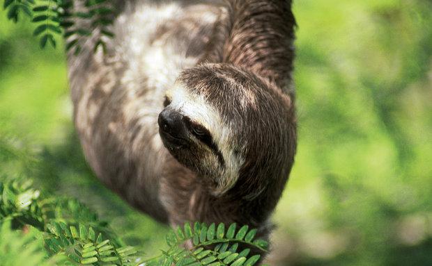 Preguiça, ou preguiça-de-três-dedos (Bradypus variegatus): vive nas florestas úmidas