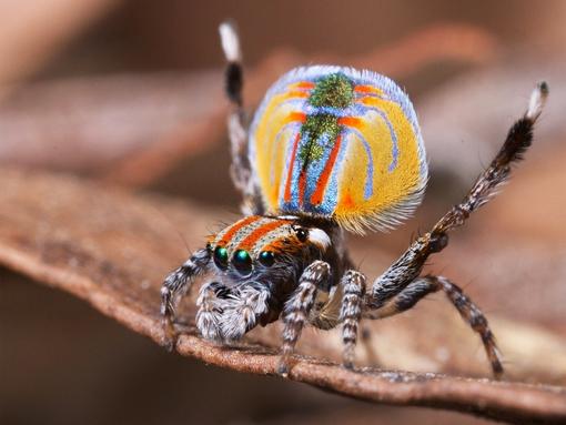 Com menos de cinco milímetros e cores ostensivas, as belas aranhas-pavão (Maratus volans) recebem este nome graças ao seu ritual de acasalamento. Assim como as aves, o macho ergue a parte colorida do abdômen, que se abre como uma aba, junto ao terceiro par de pernas. A dança exótica atrai as fêmeas.