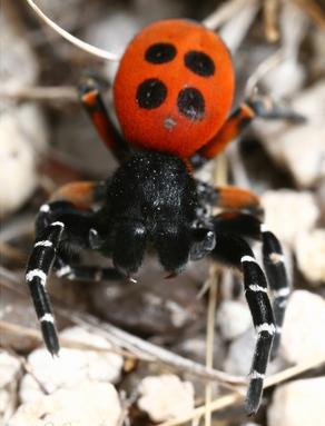 Os machos Eresus sandaliatus tornaram esta espécie conhecida como aranha-joaninha (as fêmeas são inteiras pretas). Raras, estas aranhas vêm reconstituindo a sua população, após terem sido consideradas extintas no Reino Unido.