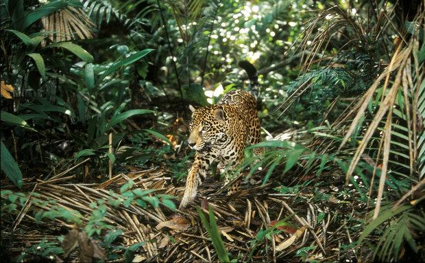 Onça-pintada (Panthera onca): vive na Amazônia, Cerrado, Mata Atlântica e Pantanal