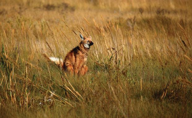 Lobo-guará (Chrysocyon brachyurus): vive no Cerrado