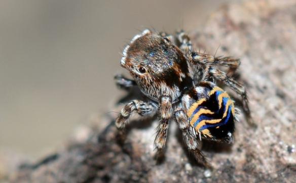 As aranhas saltadoras (Salticidae), popularmente conhecidas como papa-moscas, podem ser tão pequenas que raramente são notadas. Esta Maratus spicatus, por exemplo, ostenta listras azuis e douradas em seu minúsculo abdômen.