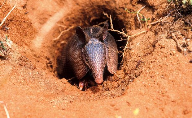 Tatu-galinha (Dasypus novemcinctus): vive em todos os biomas