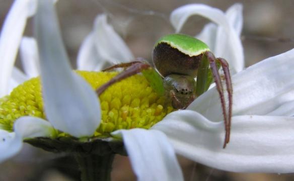 De abdômen bicolor, esta pequena aranha é a Colaranea viriditas, uma espécie endêmica da Nova Zelândia.