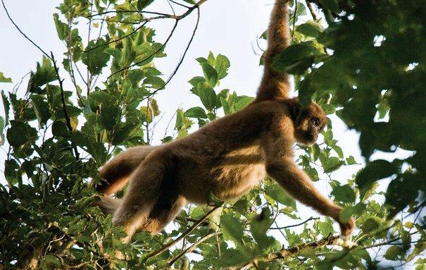 Muriqui-do-sul, ou mono-carvoeiro (Brachysteles arachnoides): vive na Mata Atlântica