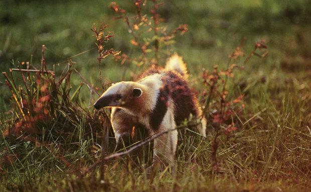 Tamanduá-mirim (Tamandua tetradactyla): vive no Cerrado