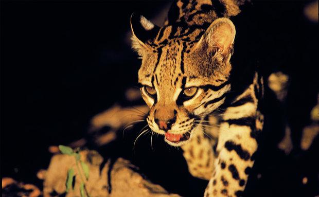 Jaguatirica (Leopardus pardalis): vive em todo o território brasileiro